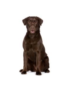 ลาบราดอร์รีทรีฟเวอร์ (Labrador Retriever)