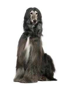อัฟกัน ฮาวนด์ (Afghan Hound)